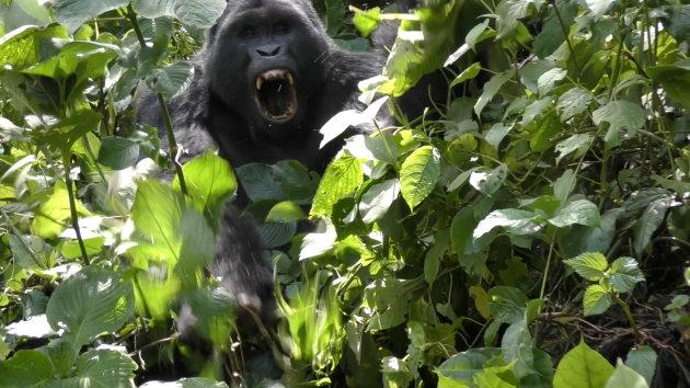 Gorilla in de aanval