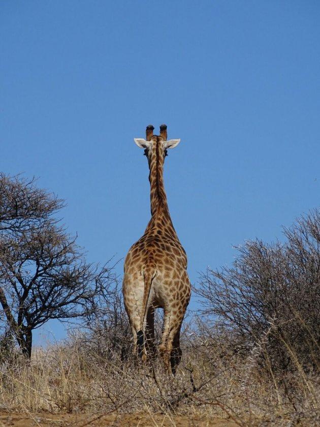 Bye bye Giraffe!