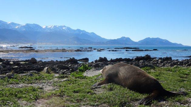 Zeehond heeft een perfect plekje gevonden voor zijn dutje