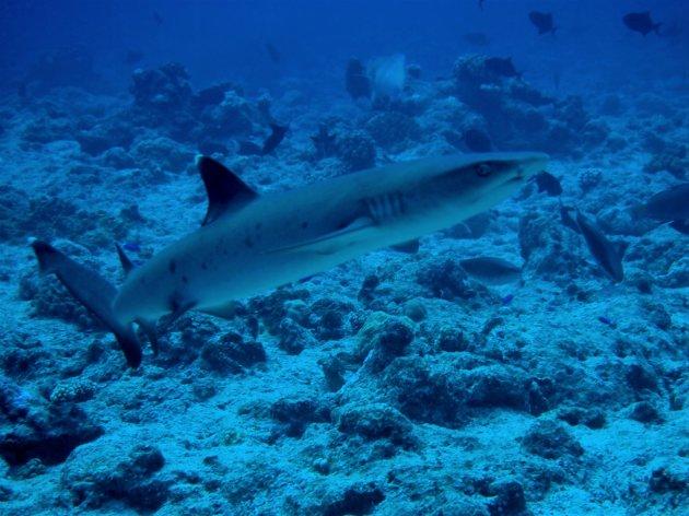 Whitetip reefshark