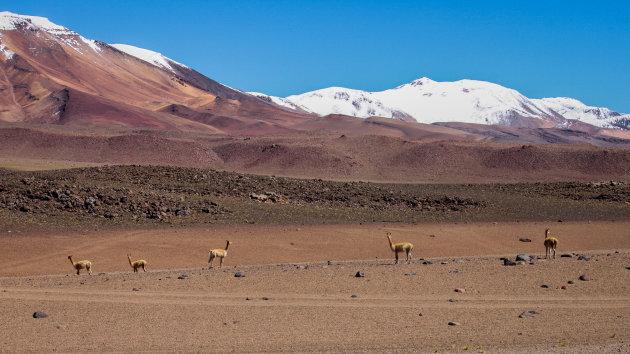 Alpacas op de Boliviaanse hoogvlakte