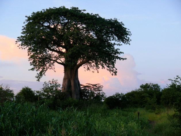 Eenzame boom 5