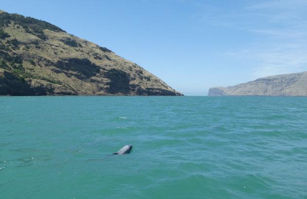 Zwemmen met Hector Dolphins