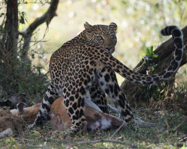 Het is goed katten spotten in de Masai Mara NP