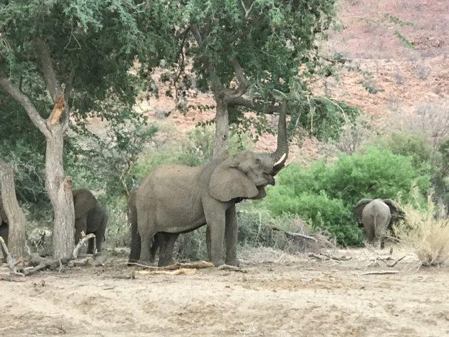 Woestijn olifanten.... eindelijk gespot...