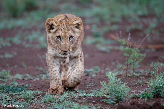 Schattige leeuwenwelp in Zuid Afrika