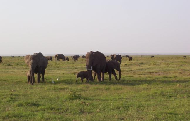 kudde olifanten met kleintjes