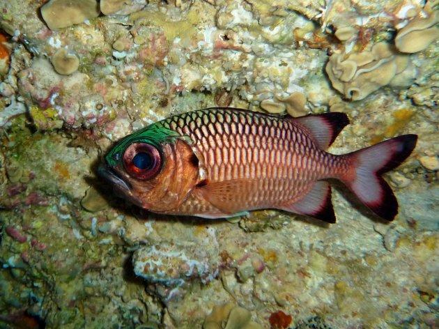 Big eye soldier fish
