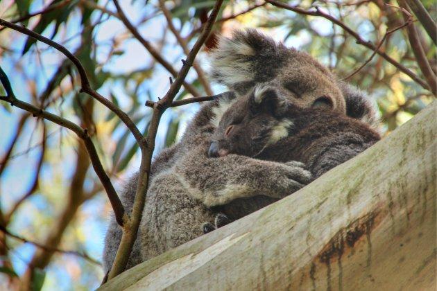 Koala met jong in Ottway National Park