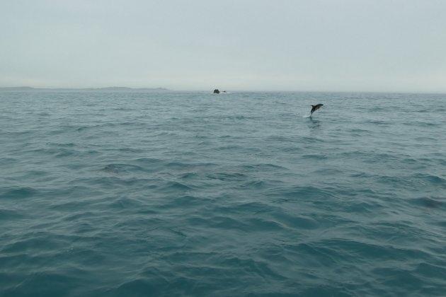 Speelse dolfijnen
