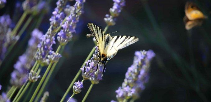 Lavendel vol leven
