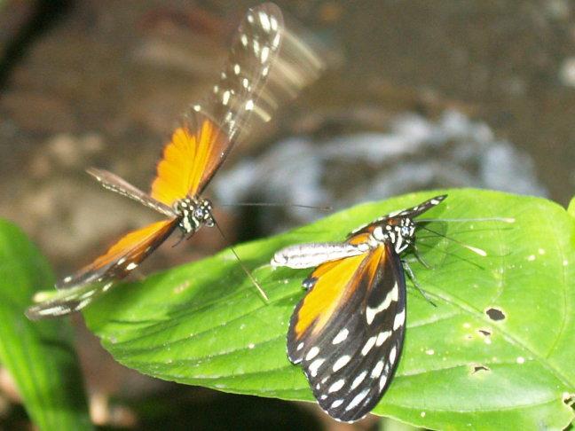vlinder parend