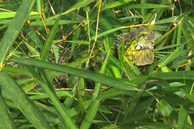 Leguaan verscholen tussen de bamboe