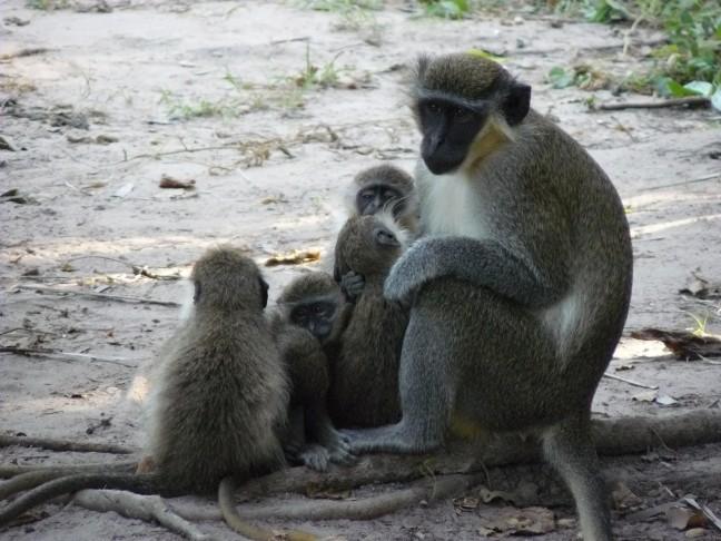 Green velvet monkeys