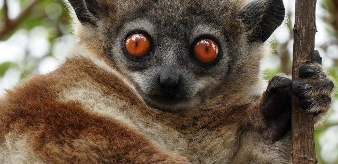 De maki in Madagaskar