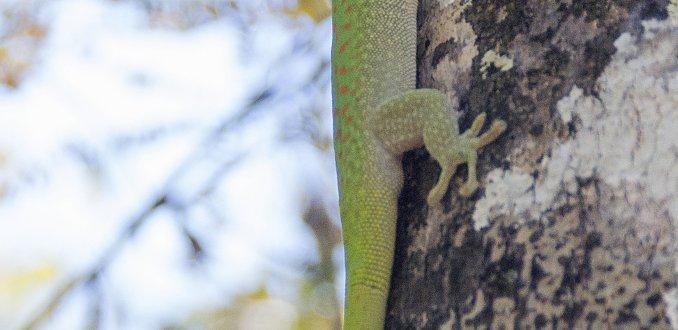 Madagaskardaggekko