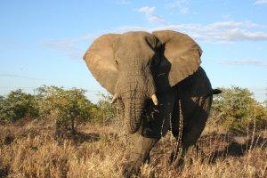 Boze olifant