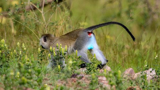 Apen soorten in Uganda