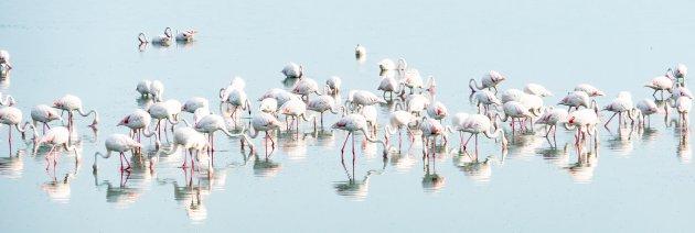 High key panorama van flamingo's