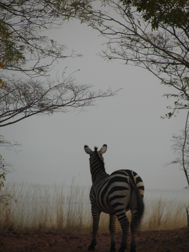 Zebra in de avondschemering