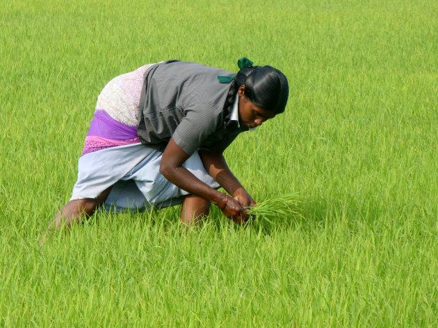 rijst uitplanten