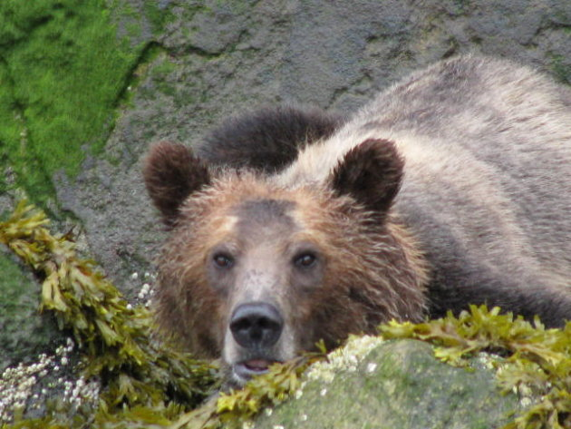Bute Inlet - Grizzly Bear