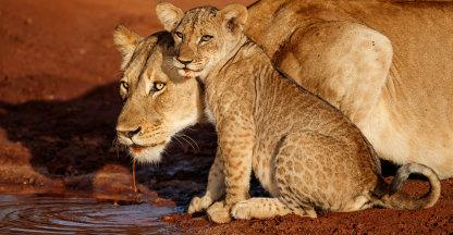 Leeuwin en welp drinken uit een regenplas - Zimanga GR - Zuid Afrika