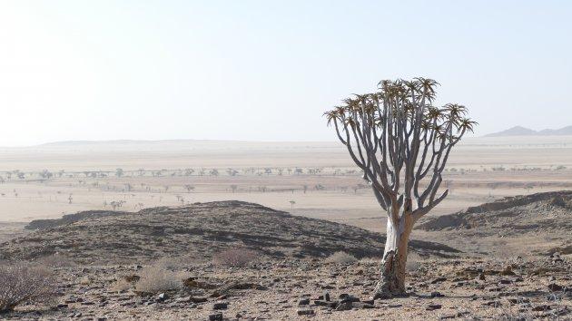 Kokerboom in het dorre landschap
