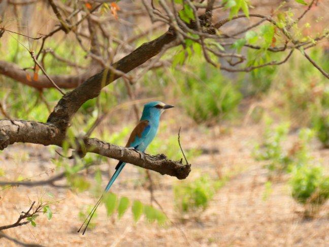 Blue bird, maar dan wat kleiner