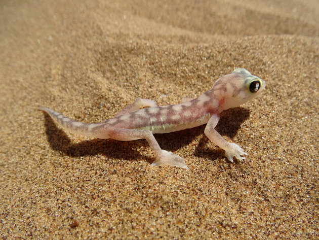 Glas gekko of Palmato Gecko