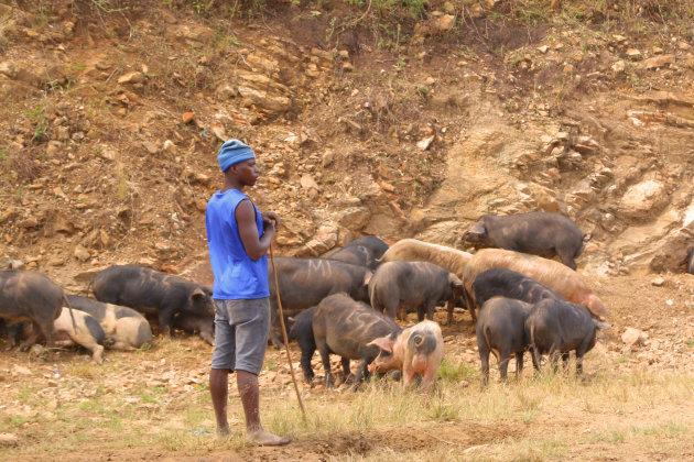 de varkenshoeder van Karongi