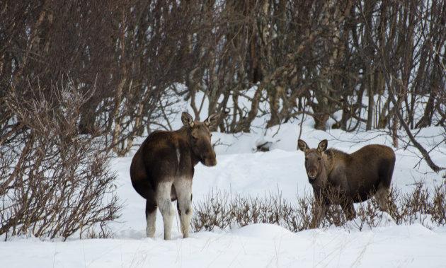 Elanden op Andøya