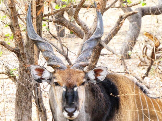 Grootste antilope ter wereld