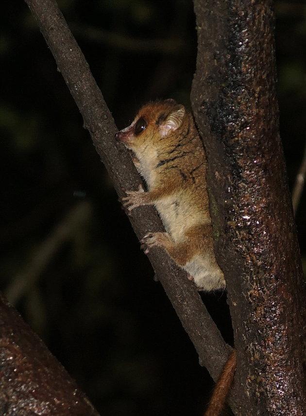 Goodman's mouse lemur
