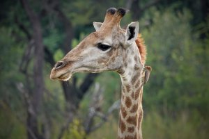 Giraffen in Entabeni