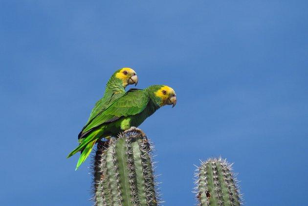geelvleugelamazone papagaai