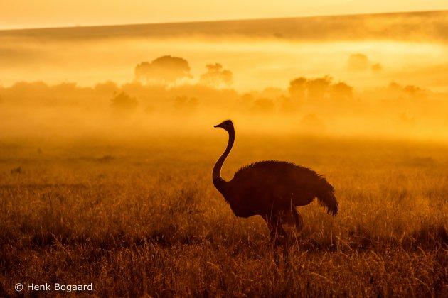Struisvogel bij zonsopkomst in de Masai Mara