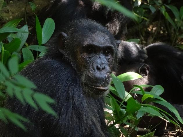 Chimpansees in Kibale Forest NP