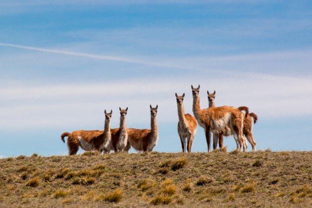 Wildlife in Patagonië
