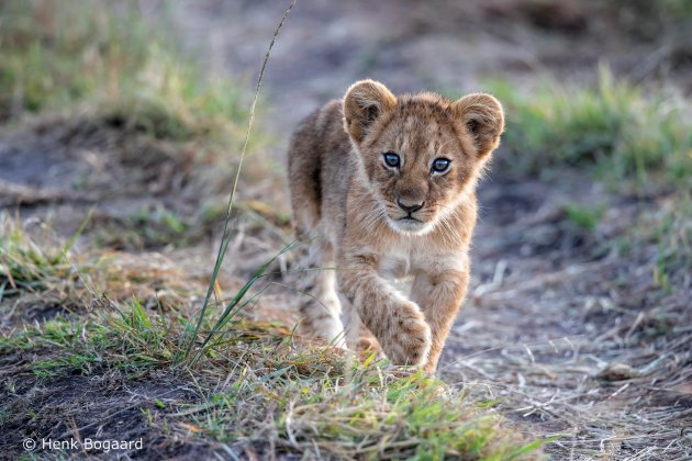 Nieuwsgierige welp in de Masai Mara - Kenia