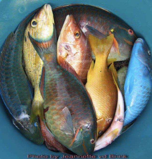 Papagaaivissen gevangen op Curacao.
