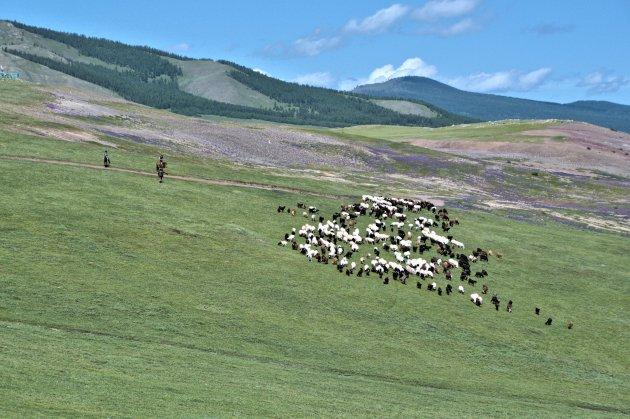 Geiten en schapen hoeden