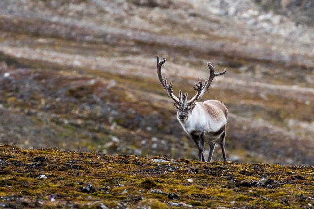 Rendieren hebben het zwaar op Spitsbergen