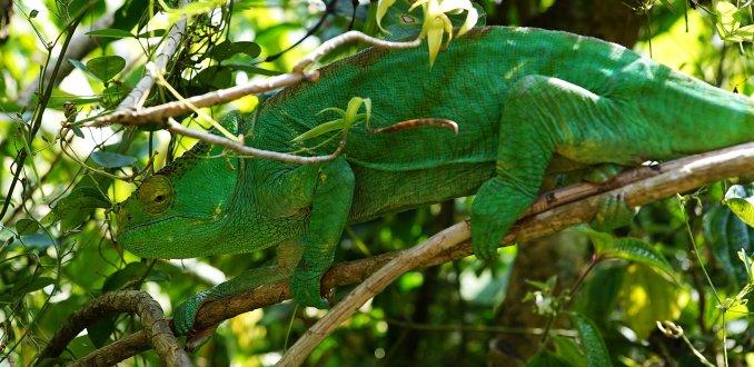 Parson's kameleon