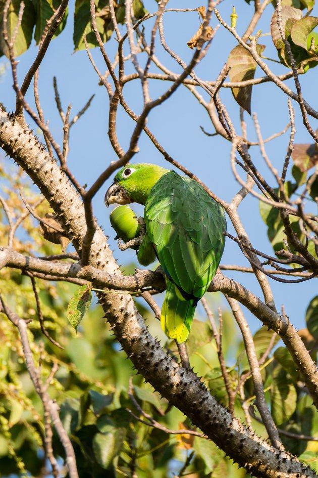 Costa Rica Amazone