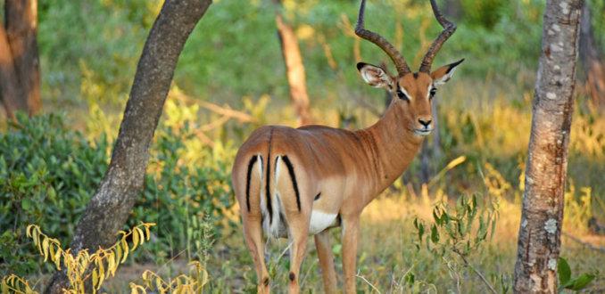 Een impala