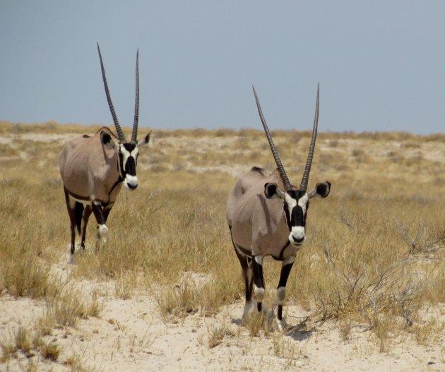 Oryx in duplo