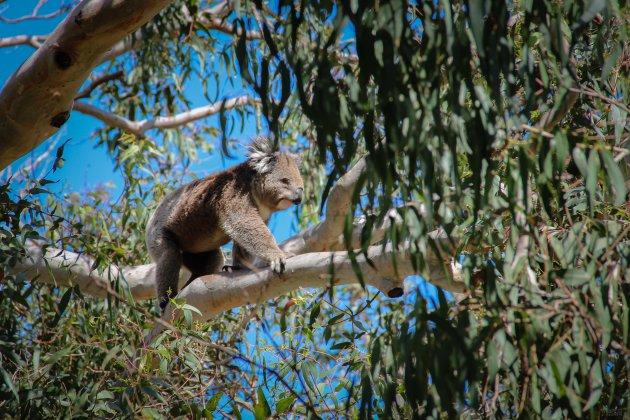 Koala in 'actie'