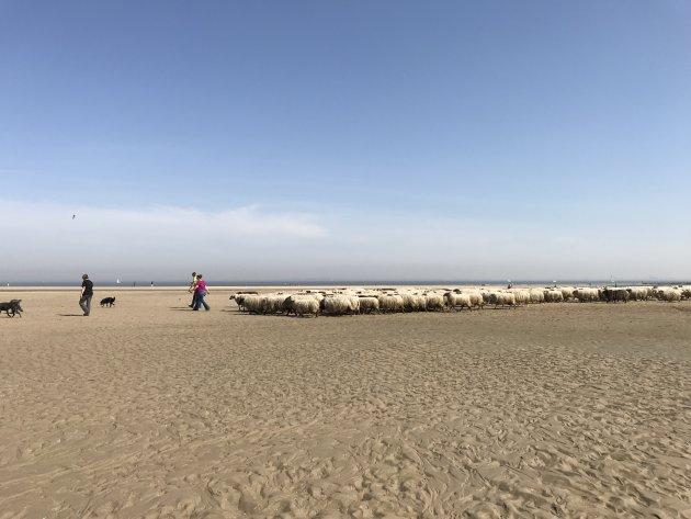 Als er een schaap over het strand is...