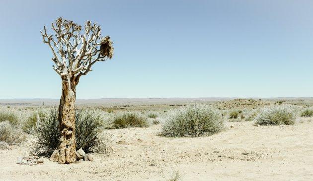 Eenzame kokerboom in de Namib woestijn